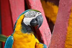 蓝色和黄色金刚鹦鹉鸟。 免版税库存图片