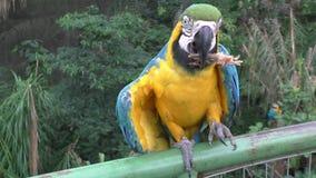 蓝色和黄色金刚鹦鹉鹦鹉- Ara ararauna在动物园里 股票视频
