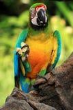 蓝色和黄色金刚鹦鹉[Ara ararauna] 库存照片