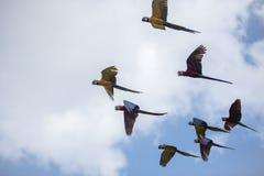 蓝色和黄色金刚鹦鹉- Ara ararauna 库存照片