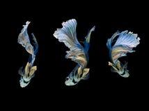 蓝色和黄色暹罗战斗的鱼半月,在黑色隔绝的betta鱼 免版税库存图片