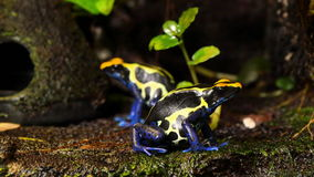蓝色和黄色毒物箭青蛙夫妇 股票视频