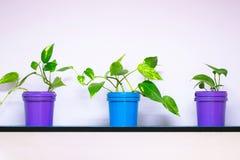 蓝色和紫色罐的三棵植物在墙壁上的一个架子如hous 图库摄影