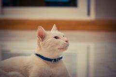 蓝色和黄色被注视的猫 免版税库存照片