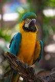 蓝色和黄色金刚鹦鹉有迷离背景 免版税库存照片
