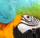 蓝色和黄色金刚鹦鹉面孔 免版税库存照片
