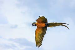 蓝色和黄色金刚鹦鹉飞行 库存图片