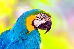 蓝色和黄色金刚鹦鹉鸟外形 免版税库存照片