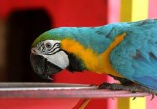 蓝色和黄色金刚鹦鹉鸟 库存图片