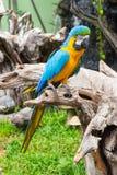 蓝色和黄色金刚鹦鹉鸟 图库摄影