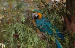 蓝色和黄色金刚鹦鹉鸟 免版税库存图片