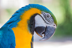 蓝色和黄色金刚鹦鹉鹦鹉在巴厘岛飞禽公园,印度尼西亚 免版税库存照片