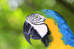 蓝色和黄色金刚鹦鹉鹦鹉 库存图片