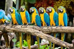 蓝色和黄色金刚鹦鹉 图库摄影