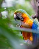 蓝色和黄色金刚鹦鹉- Ara ararauna 免版税库存照片