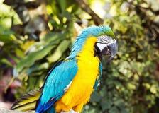 蓝色和黄色Macaw2 免版税库存照片