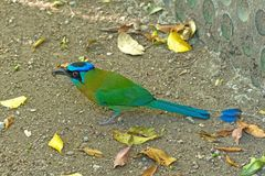 蓝色哺养在地面上的被加冠的Motmot 免版税库存图片