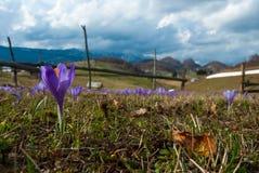 蓝色喀尔巴阡山脉的番红花山 免版税库存照片
