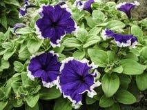 蓝色喇叭花绽放在庭院里 免版税图库摄影