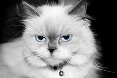 蓝色喜马拉雅点 免版税库存照片