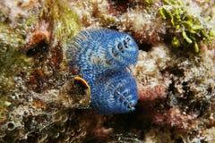 蓝色圣诞树蠕虫Spirobranchus giganteus 免版税库存照片