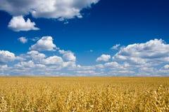 蓝色在天空的域金黄燕麦 库存图片