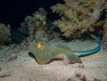 蓝色在海底的被察觉的黄貂鱼 库存照片