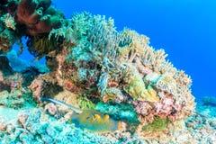 蓝色在珊瑚石峰下的被察觉的黄貂鱼 免版税图库摄影