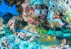 蓝色在珊瑚石峰下的被察觉的黄貂鱼 库存照片
