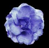 蓝色在黑色的玫瑰花隔绝了与裁减路线的背景没有阴影 有水滴的罗斯在瓣的 Closeu 免版税库存照片