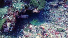 蓝色在gili海岛察觉了黄貂鱼在印度尼西亚 免版税库存照片