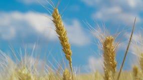 蓝色域天空麦子 库存图片