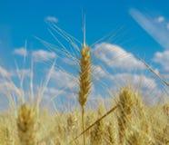 蓝色域天空麦子 图库摄影