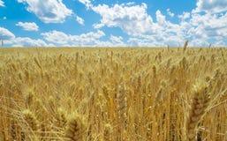 蓝色域天空麦子 免版税图库摄影