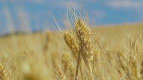 蓝色域天空麦子 免版税库存照片