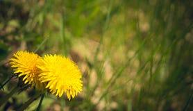蓝色域开花草草甸天空夏天下 一个明亮的黄色蒲公英 库存照片