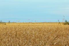 蓝色域金黄天空麦子 免版税图库摄影