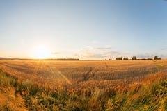 蓝色域金hdr图象天空麦子 成熟谷物丰收时间 库存照片