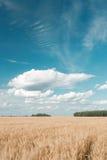 蓝色域金hdr图象天空麦子 成熟谷物丰收时间 图库摄影