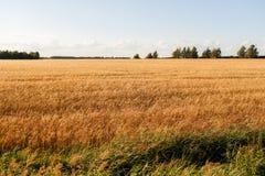 蓝色域金hdr图象天空麦子 成熟谷物丰收时间 库存图片