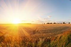 蓝色域金hdr图象天空麦子 成熟谷物丰收时间 免版税库存照片