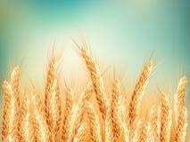 蓝色域金hdr图象天空麦子 10 eps 库存图片