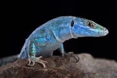 蓝色墙壁蜥蜴Podarcis sicula coerulea 免版税库存照片