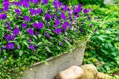 蓝色夏天在一个zink低谷开花在庭院里 库存图片
