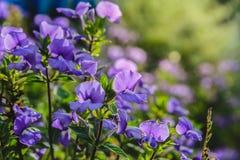 蓝色夏威夷花在庭院里 库存照片