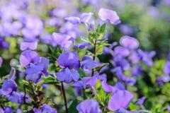 蓝色夏威夷花在庭院里 免版税库存照片