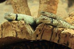 蓝色多刺的蜥蜴 免版税库存照片