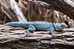 蓝色多刺的蜥蜴剌蜥蜴树serrifer cyanogenys 库存图片