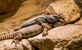 蓝色多刺的蜥蜴和一大毒蜥怪物 免版税库存图片