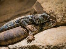 蓝色多刺的蜥蜴和一大毒蜥怪物 免版税库存照片